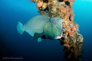 Napolean Wrasse by Pat Gunderson 